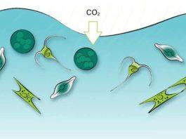 1 Pengertian Fitoplankton Manfaat, Dampak, Klasifikasi, Reproduksi dan Laju Pertumbuhan